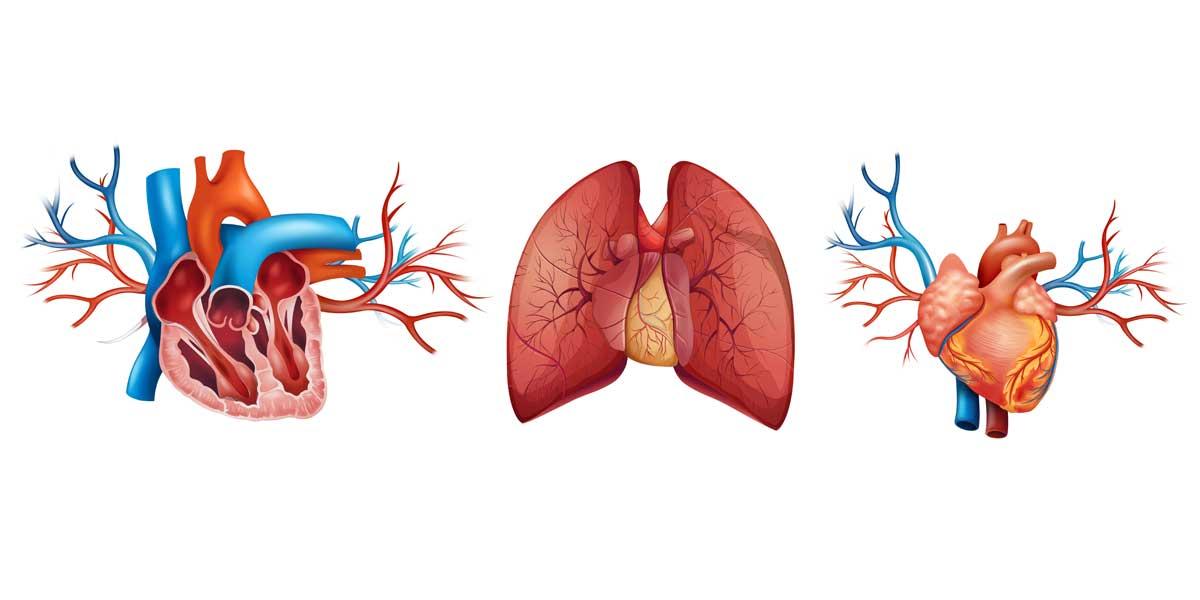 Aparato circulatorio II, el corazón y la circulación sanguínea 3º ESO biología