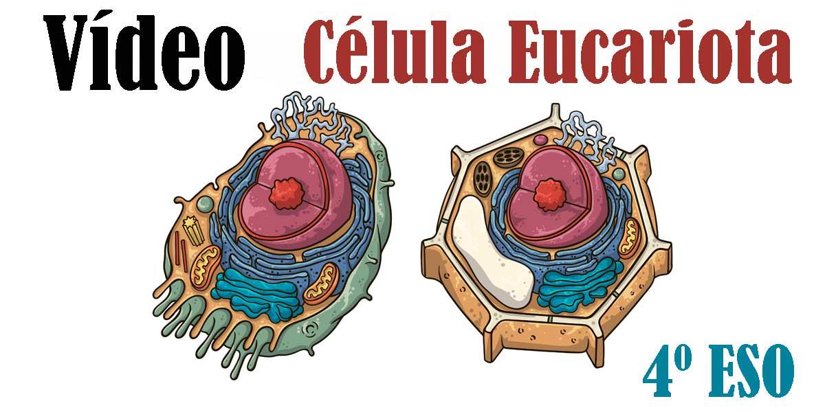 Vídeo La Célula Eucariota La célula animal y vegetal 4 ESO